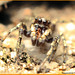 Jumping Spider with Mite (Being Eaten)