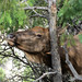 Grand Canyon Nat Park: Elk Rubbing Face on Tree 0089