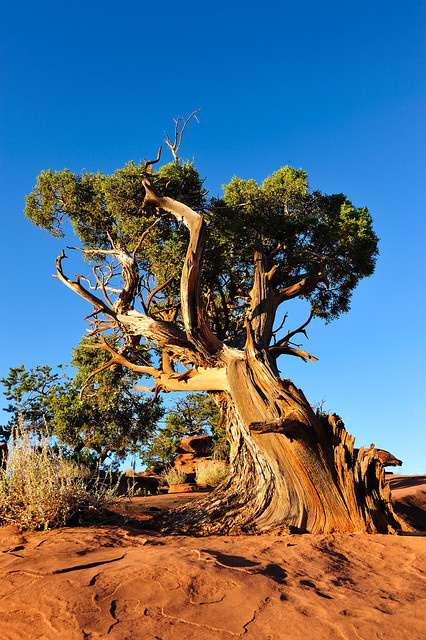 Bristlecone Pine Canyonlands National Park Utah One Of