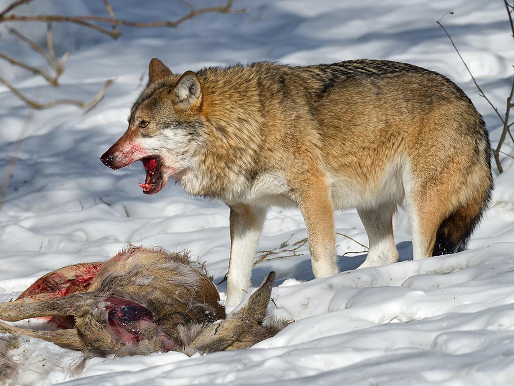 A predação é um dos exemplos mais visíveis de alelobiose entre os animais.