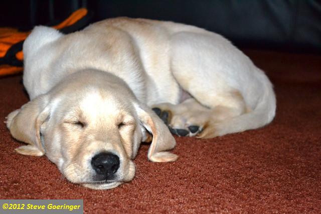 Image Result For Labrador Retriever Gun