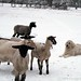 Snowy day at the sheep barn 3 - FarmgirlFare.com