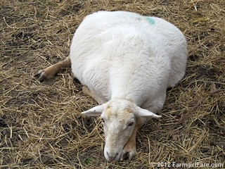 The pregnant sheep waiting game 1 | by Farmgirl Susan