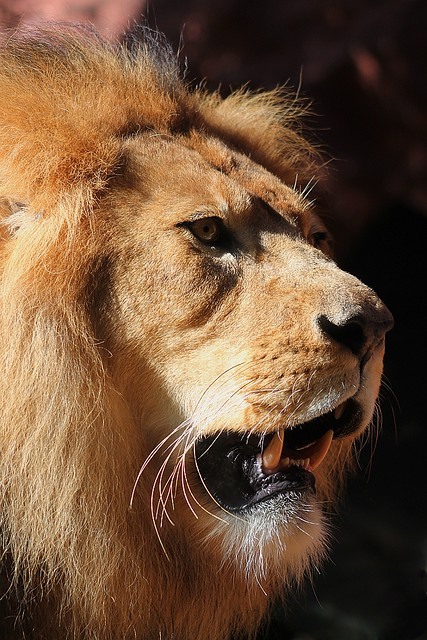 Lion Side Profile | Flickr - Photo Sharing!