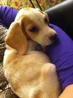 This is Kimber, my new 10 week old beagle puppy... | by Claire Fun