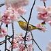 Sakura and the Japanese White-Eye
