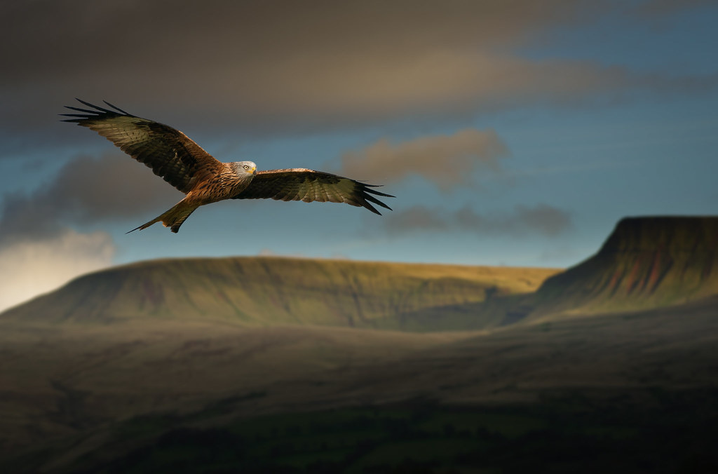 Image result for red kite brecon beacons