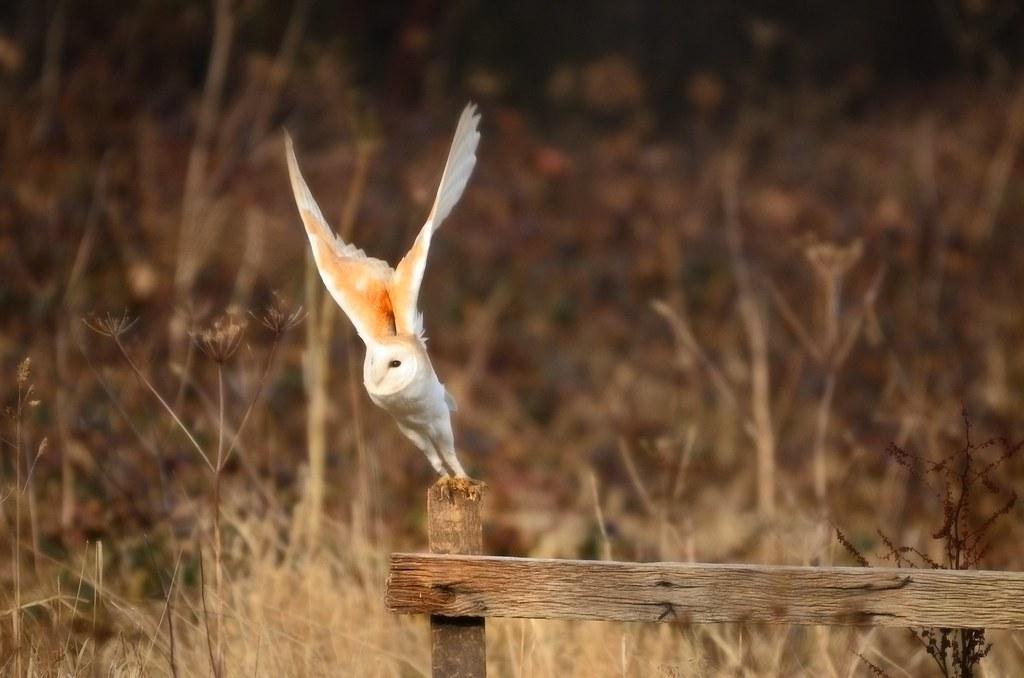 Barn Owl Taking Off Barn Owl Take O...