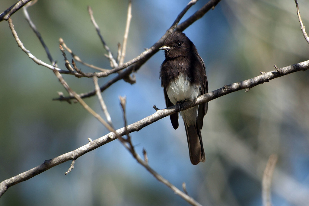 Black Phoebe Bird And Butterfly Garden San Diego County