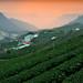 頂石棹茶園 tea garden