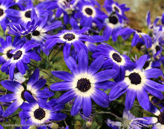 Navy Blue Osteospermum Flower Field Original Fine Art