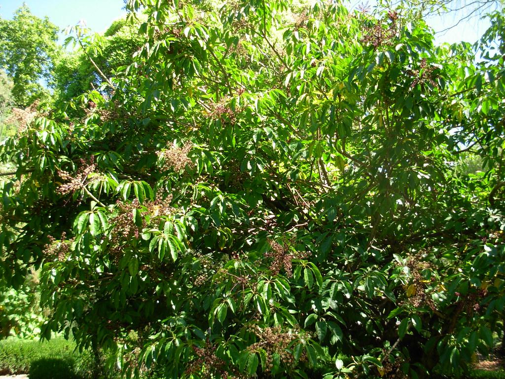 pedras jardim botanico:Schefflera venulosa