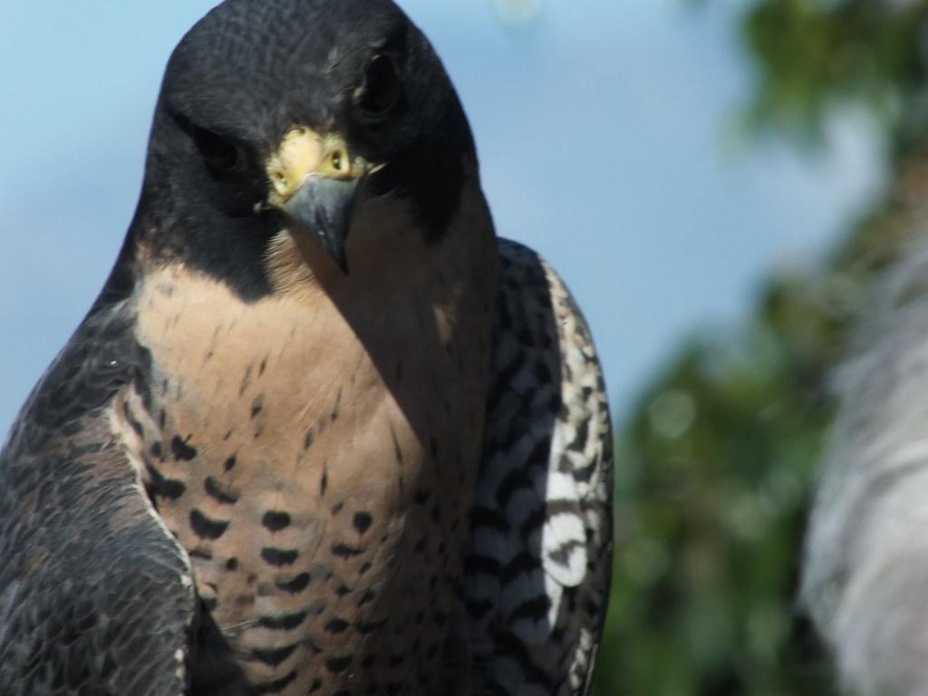 200 Km To Miles Per Hour >> PEREGRINE FALCON 36676   Peregrine Falcon (Falco peregrinus)…   Flickr