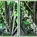 Sansevieria trifasciata 'Bantel's Sensation' blooming again! #1/3