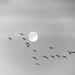 luna, gabbiani, ali in movimento