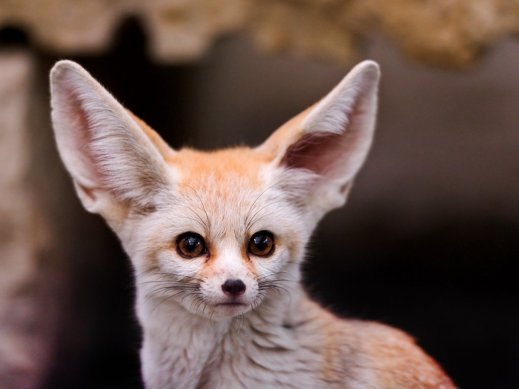 What Big Ears Portrait Of A Cute And Small Fennec