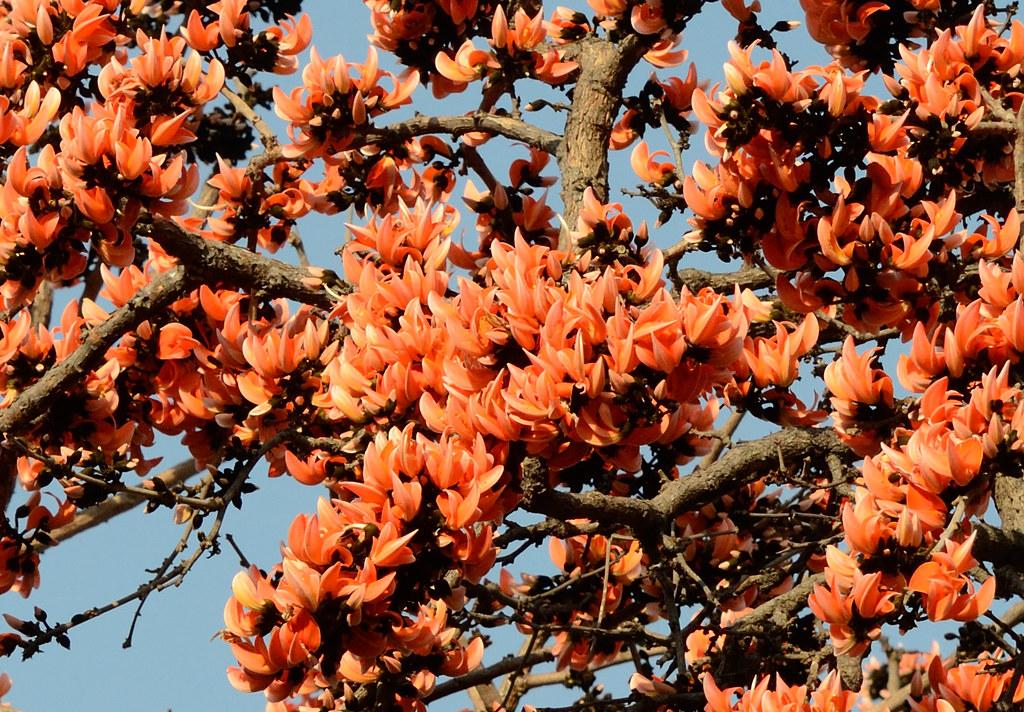 Palash Tree in full bloom! Kavdi, 12FEB2012 | Visited ...Palash Flower