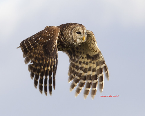 Barred Owl In Flight Three Lakes Wildlife Management Area | by kevansunderland