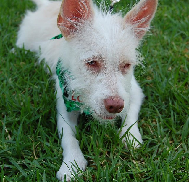 THUMBALINA | Wire-Haired Terrier/Chihuahua Mix | Looking for ...