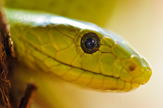 Portrait of a snake | by Tambako the Jaguar