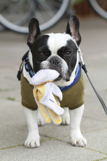 French Bulldog Chikuwa and his loot today | by solutionsoap