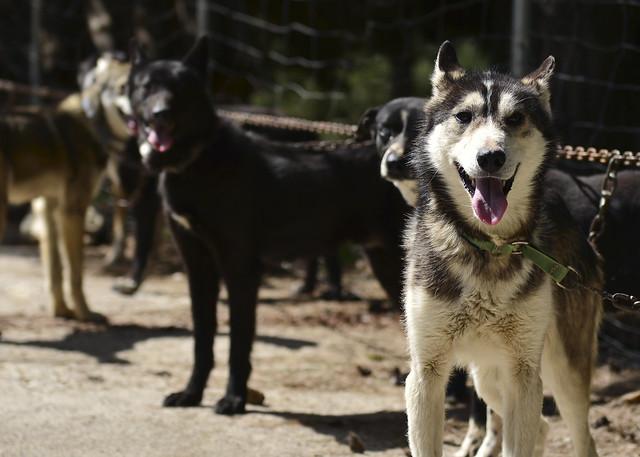 Perros alaskanos de Aventura Polar en el Sur