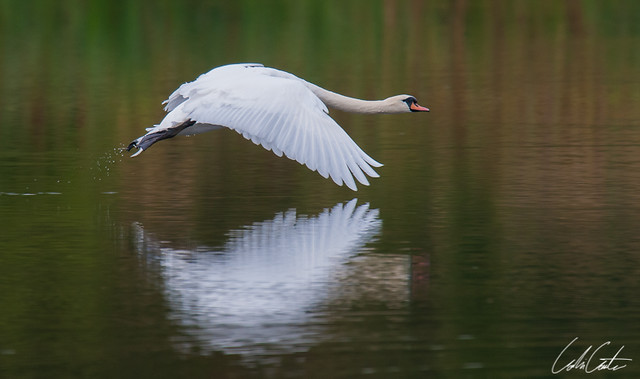 Swan Flying close to water | Flickr - Photo Sharing!
