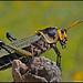 Cool Grasshopper