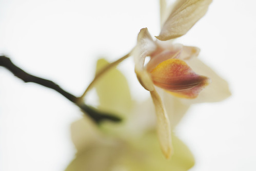 Windowsill Orchid | by splorp