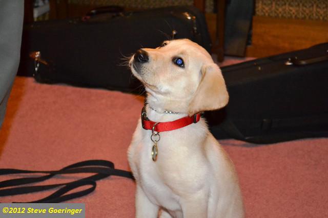Image Result For Labrador Gun Dog