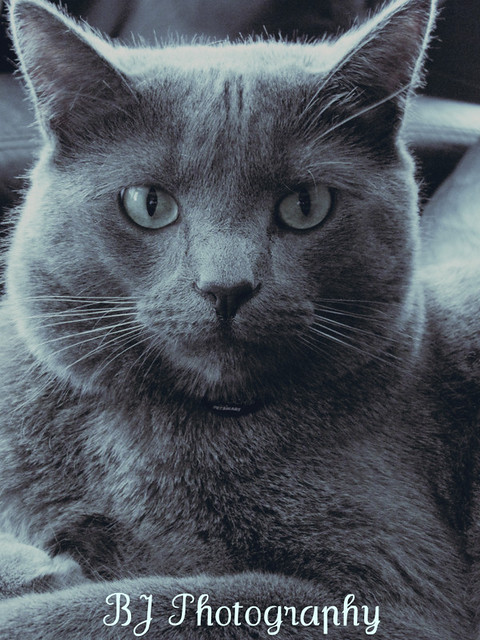Russian Blue Mix Cat | Flickr - Photo Sharing!