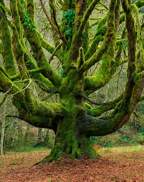 Giant Bigleaf Maple Covered With Moss In Olympic National