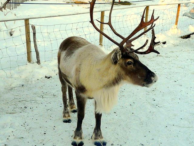 R Reindeer Real Real Reindeers   New C...