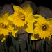 Daffodils... just because it is sunny