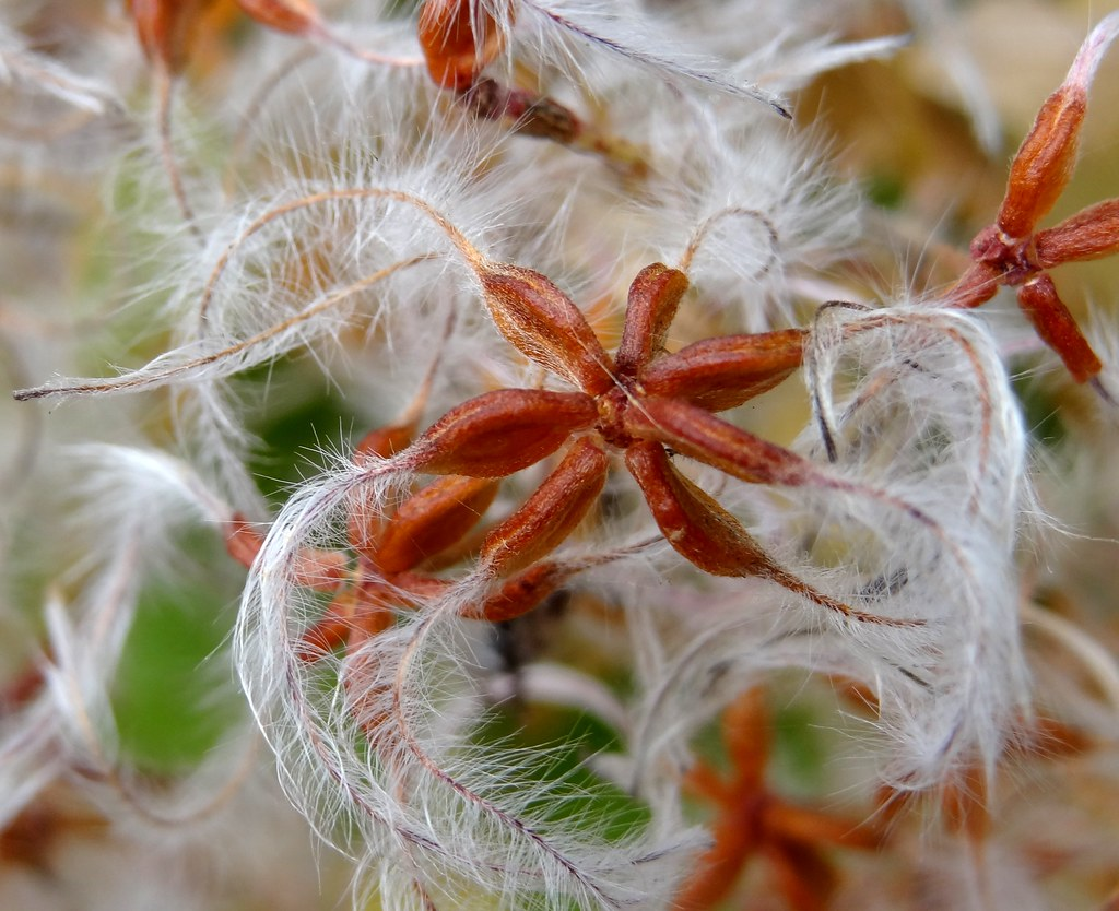 Clematis Terniflora Seeds Clematis Terniflora Fruit