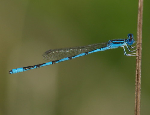 Double-striped Bluet | by summerazure