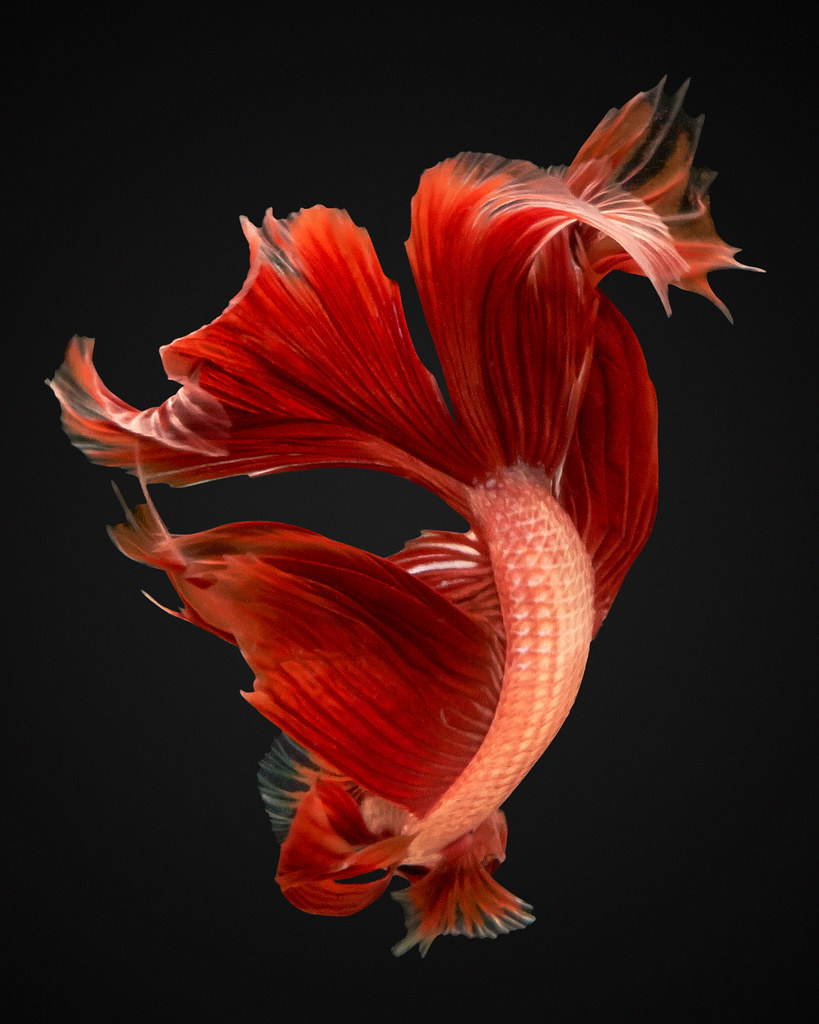 betta fish live wallpaper download