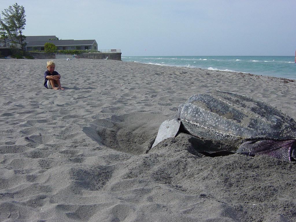 Leatherback turtle nesting florida fish and wildlife for Florida fish and wildlife jobs