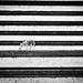 Zebra. Camouflage.