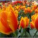 Tulip dreams....Spring Exhibition Palm garden....Frankfurt am Main 2012