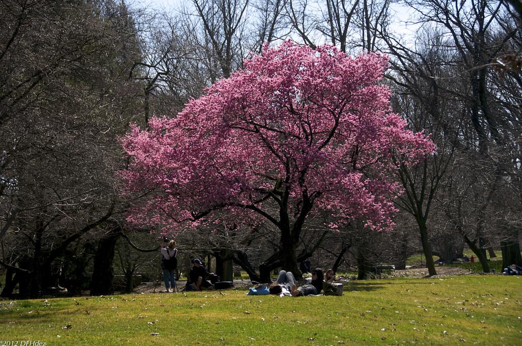 1 cherry tree medowie cherry tree okame in bloom df hdez flickr