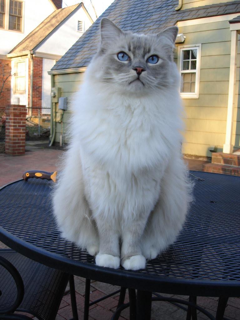 Blue Mitted Lynx Ragdoll Cat
