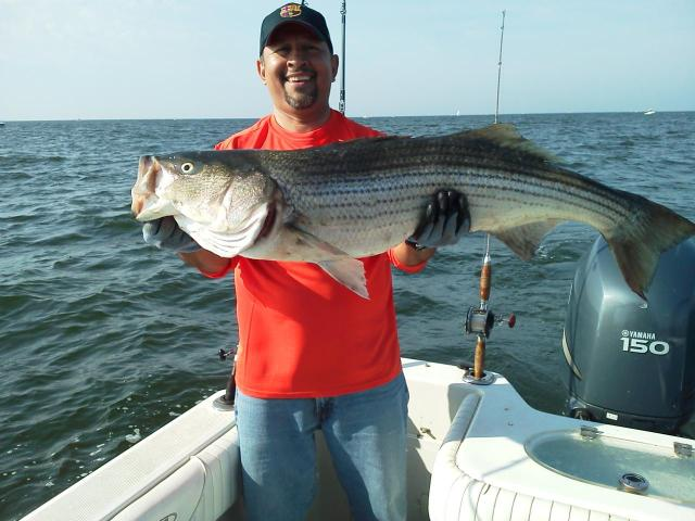 43 striped bass courtesy of rafael rugel maryland for Md dnr fishing report