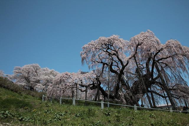 三春の滝桜   三春の滝桜   By
