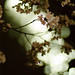 Cherry blossoms at night #1