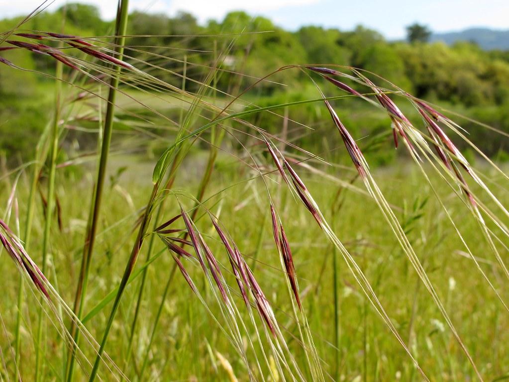 Stipa pulchra nassella p purple needlegrass stipa for Purple grass