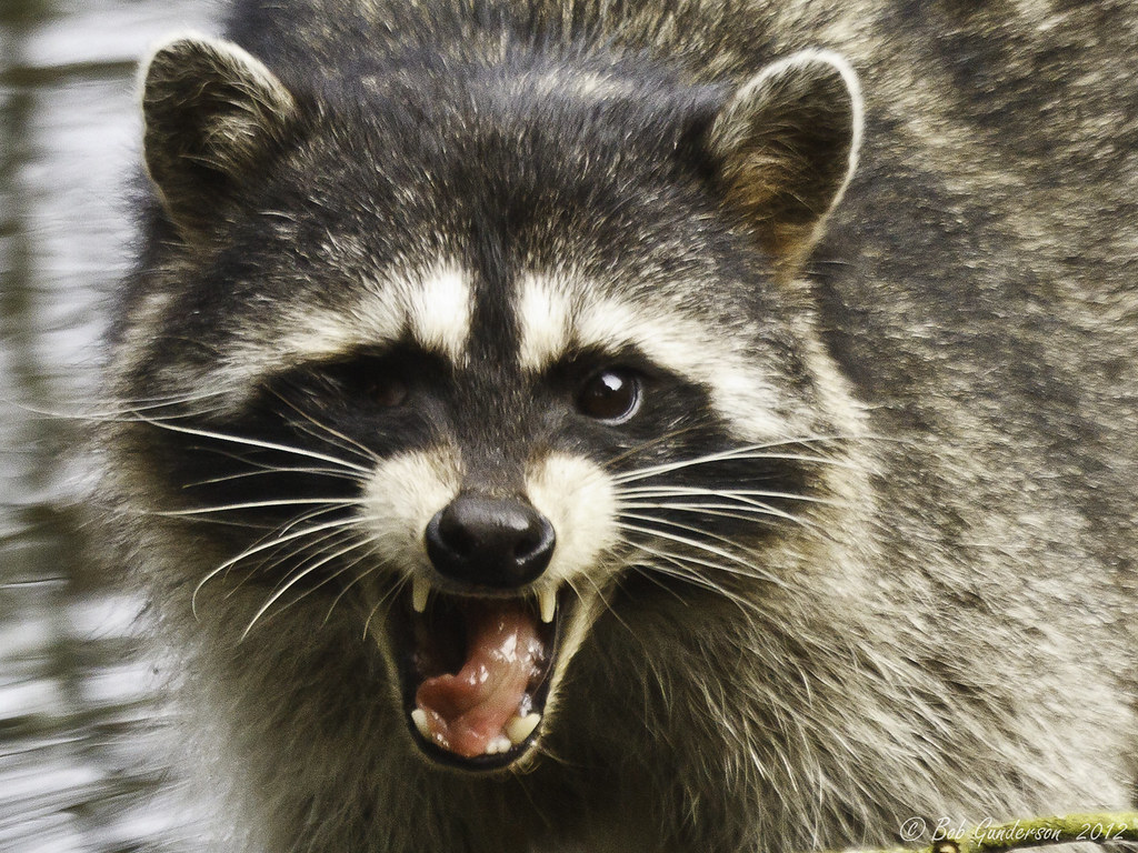 how to make a snare trap for a raccoon snare trap raccoons and