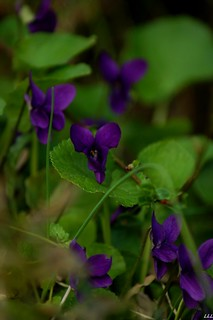 Spring is announced, the violets of Toulouse beautify  my garden ♥ | by Lua - chris