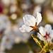 High Park's Cherry Blossoms