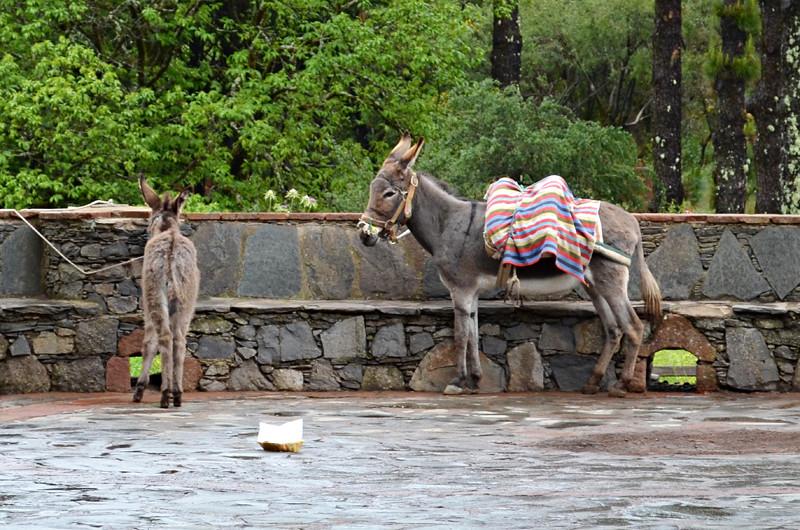 Donkeys, Cruz de Tejeda, Gran Canaria